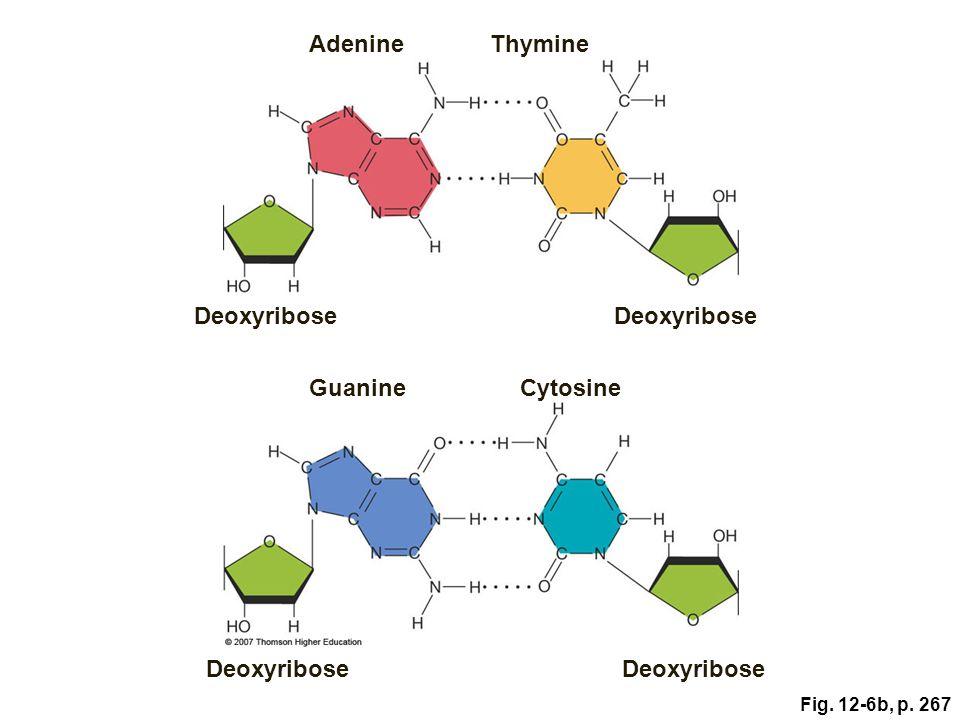 Adenine Thymine Deoxyribose Deoxyribose Guanine Cytosine Deoxyribose