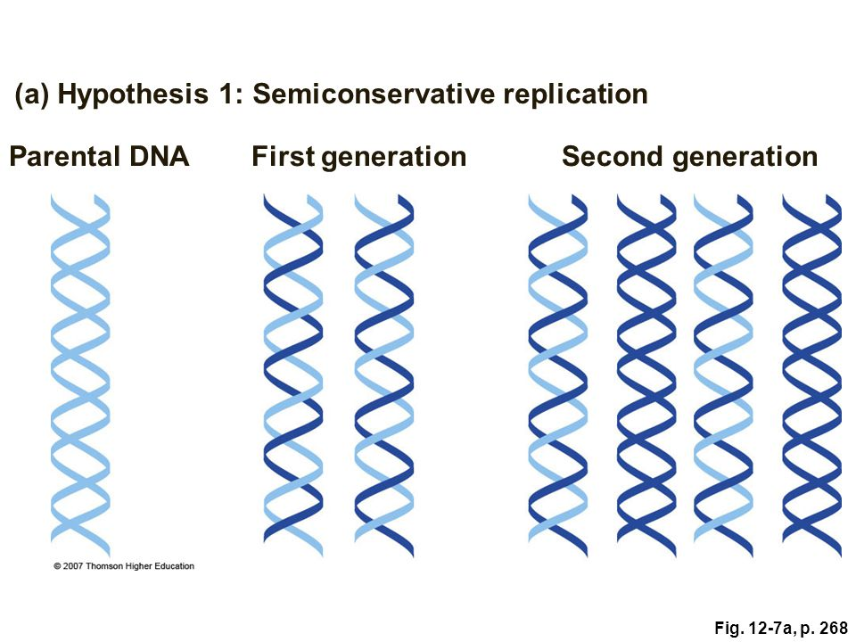 (a) Hypothesis 1: Semiconservative replication