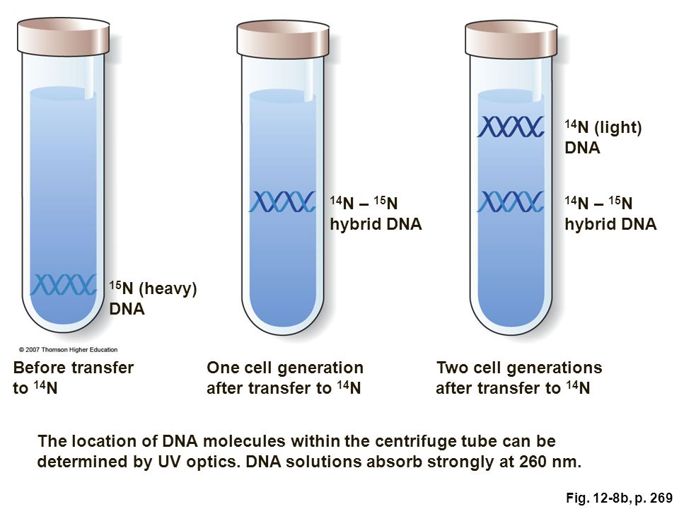 One cell generation after transfer to 14N