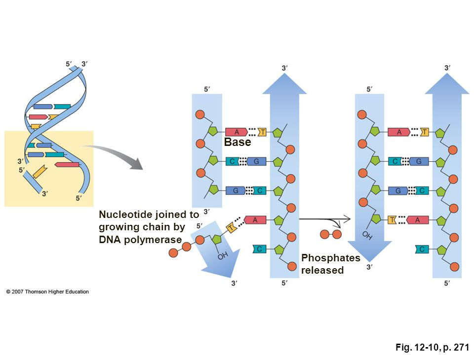 Base Nucleotide joined to growing chain by DNA polymerase