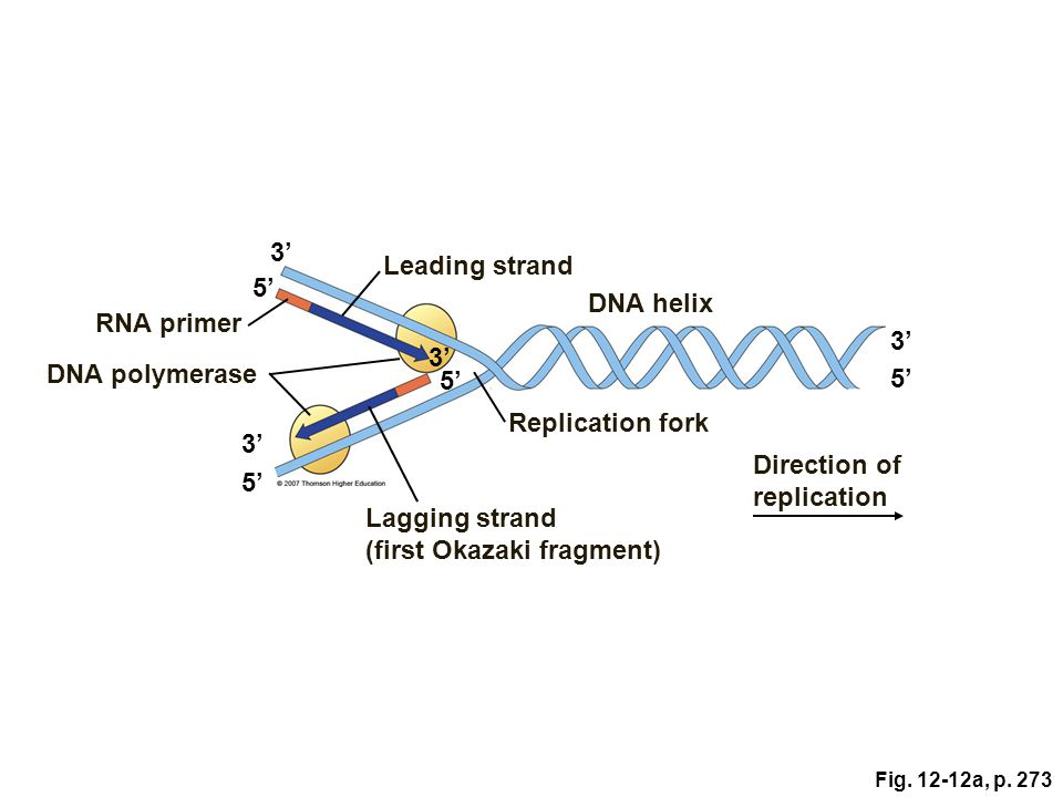 Direction of replication 5' Lagging strand (first Okazaki fragment)