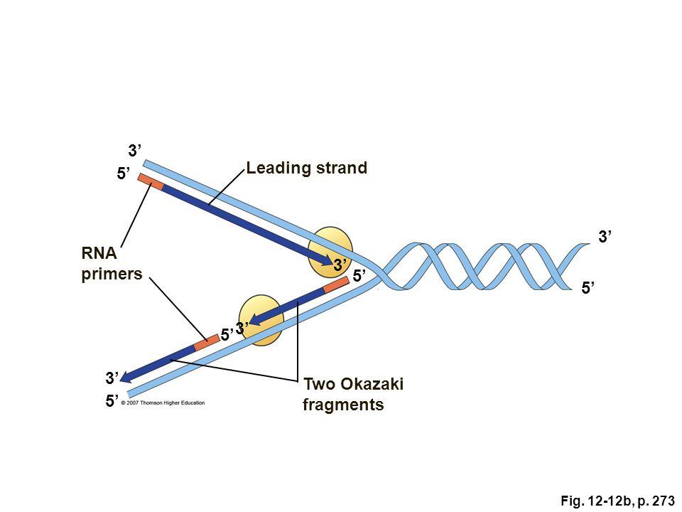 3' Leading strand 5' 3' RNA primers 3' 5' 5' 3' 5' 3'
