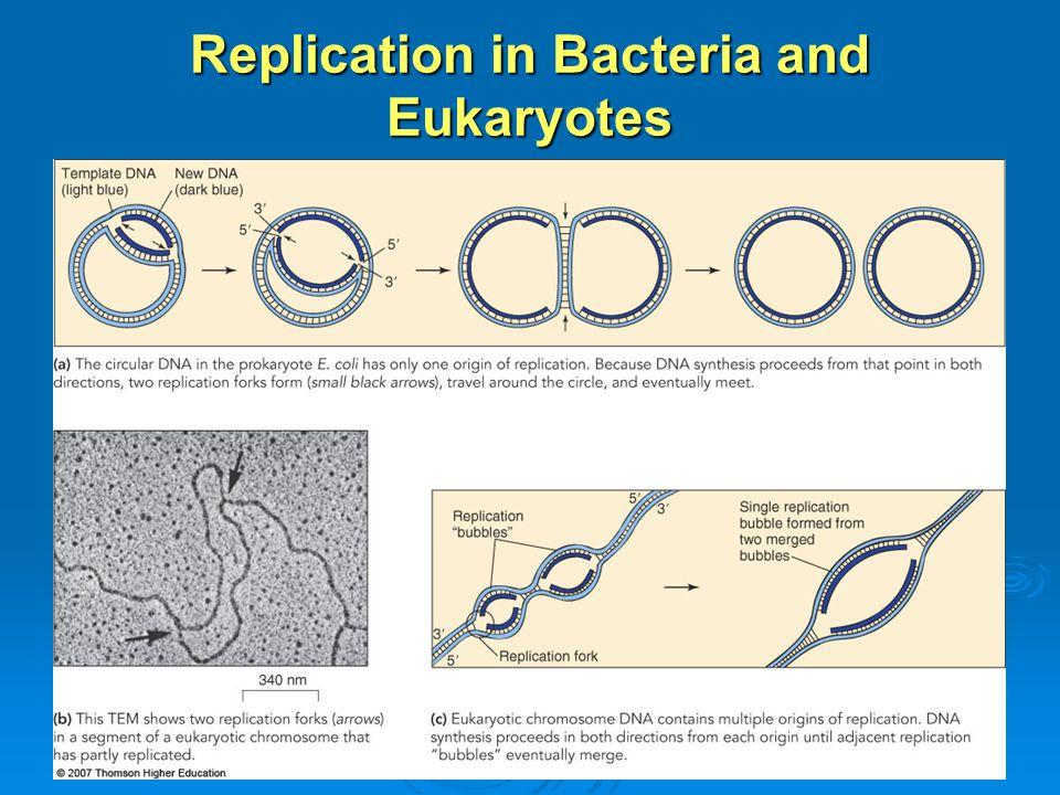 Replication in Bacteria and Eukaryotes
