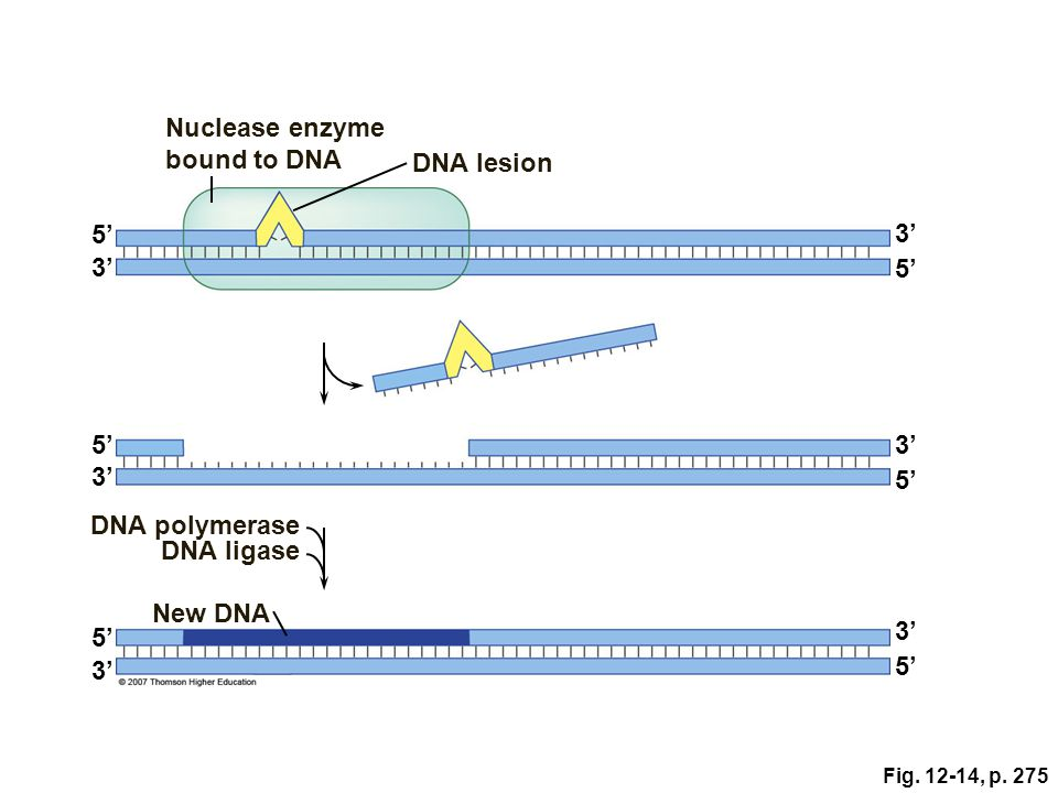 Nuclease enzyme bound to DNA DNA lesion