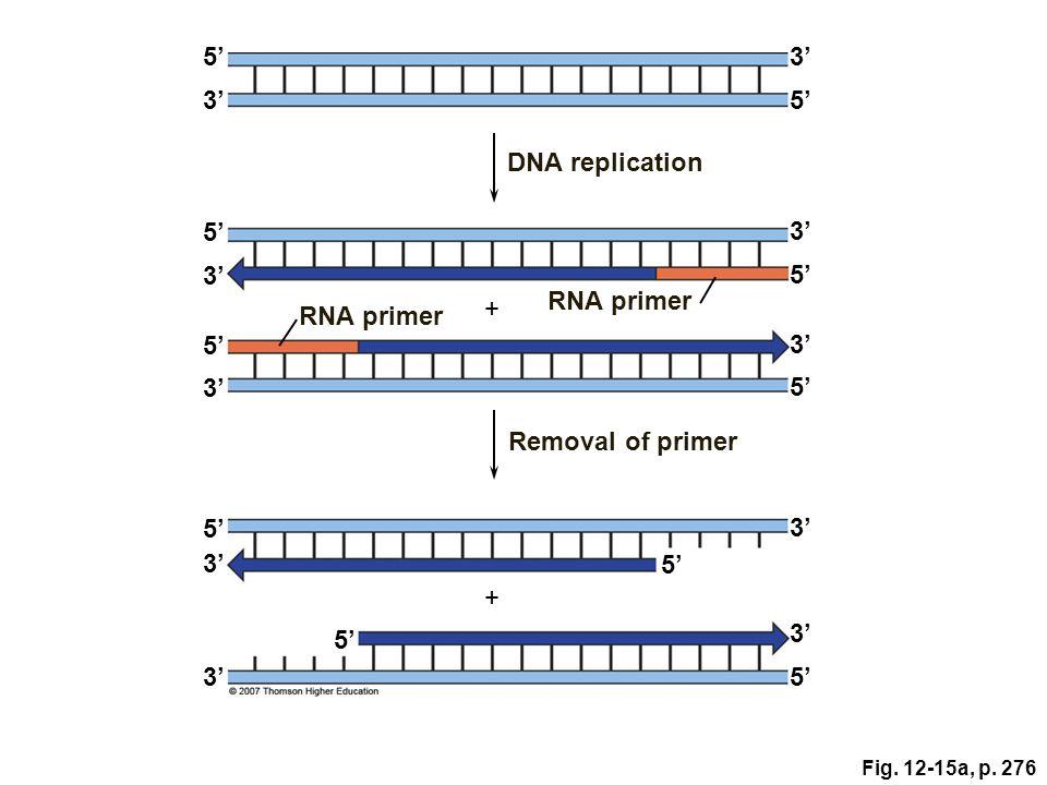 5' 3' 3' 5' DNA replication 5' 3' 3' 5' RNA primer + RNA primer 5' 3'
