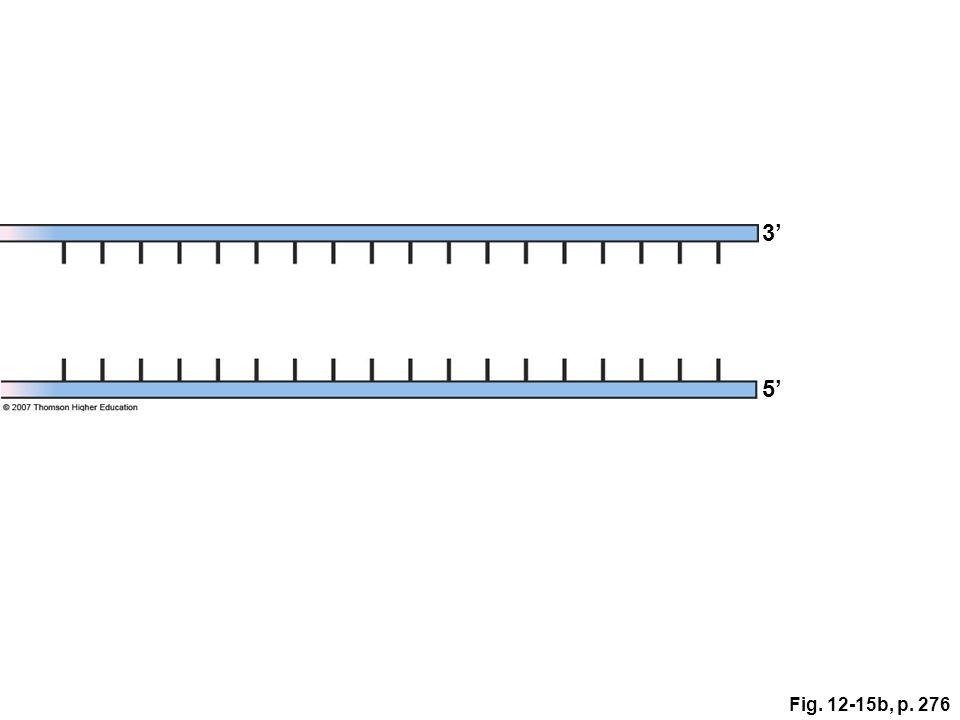 3' 5' Figure 12.15: Replication at chromosome ends. Fig. 12-15b, p. 276