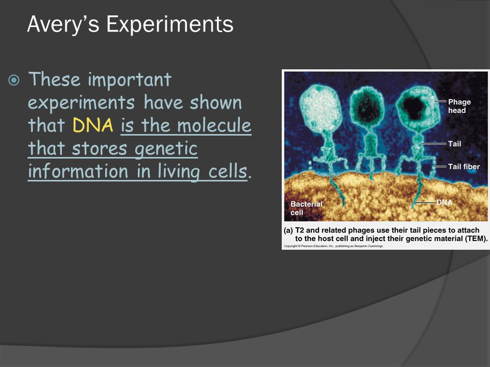 Avery's Experiments These important experiments have shown that DNA is the molecule that stores genetic information in living cells.