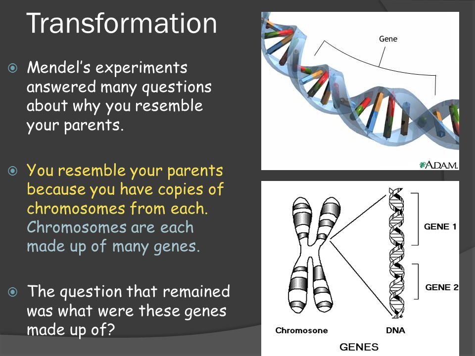 Transformation Mendel's experiments answered many questions about why you resemble your parents.