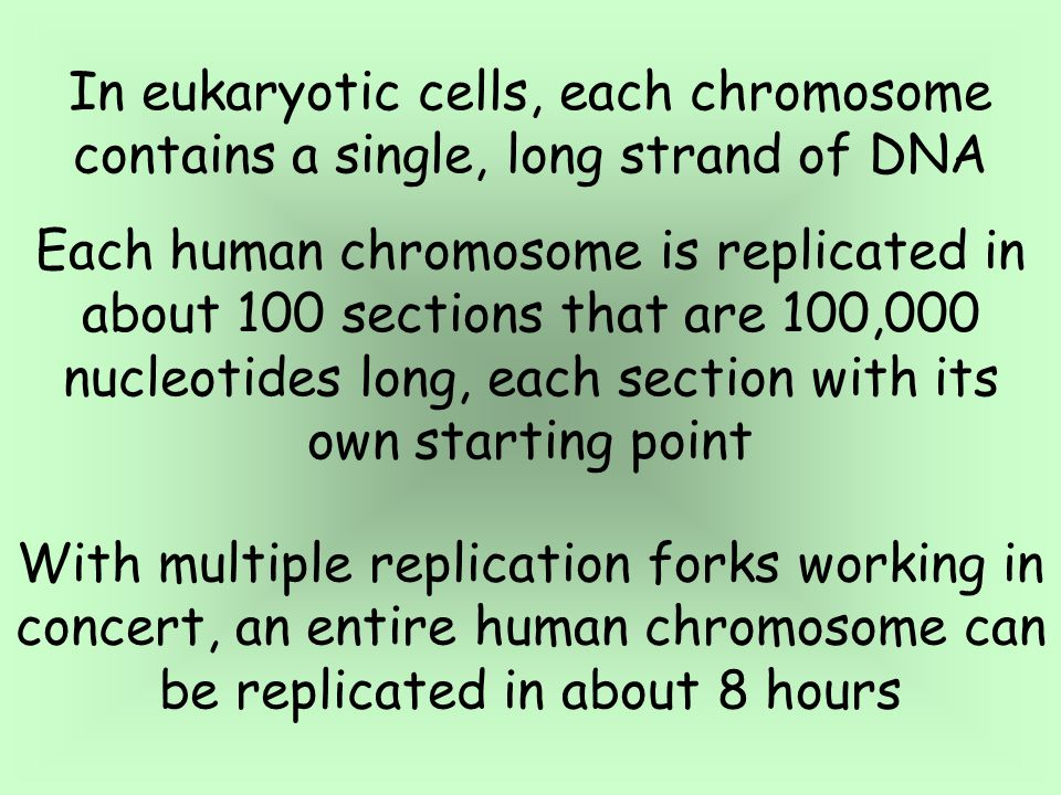 In eukaryotic cells, each chromosome contains a single, long strand of DNA