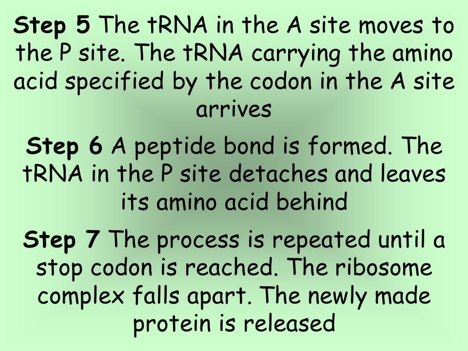 Step 5 The tRNA in the A site moves to the P site