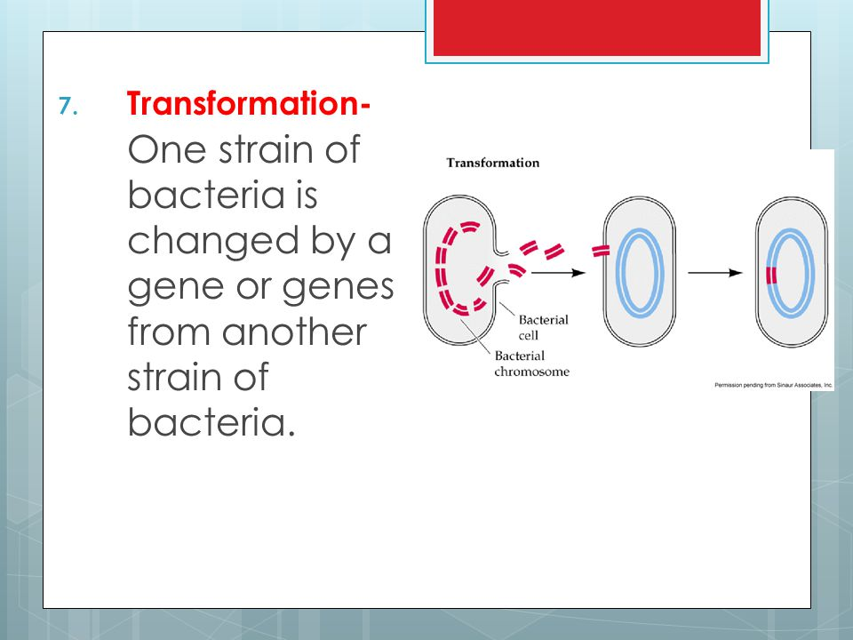 Transformation- One strain of bacteria is changed by a gene or genes from another strain of bacteria.