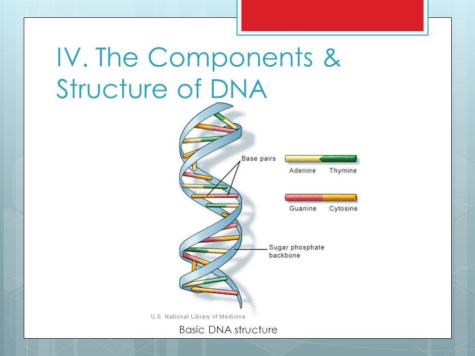 IV. The Components & Structure of DNA