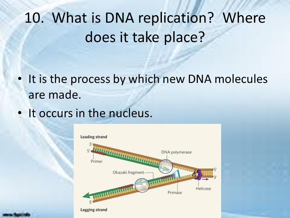 10. What is DNA replication Where does it take place