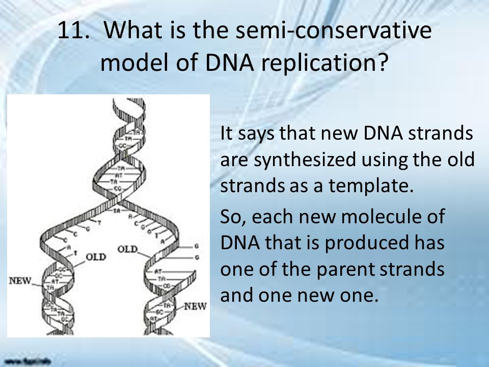11. What is the semi-conservative model of DNA replication