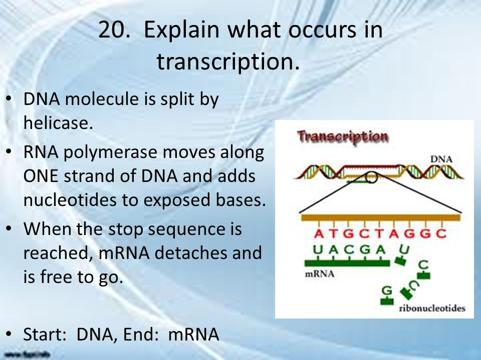 20. Explain what occurs in transcription.