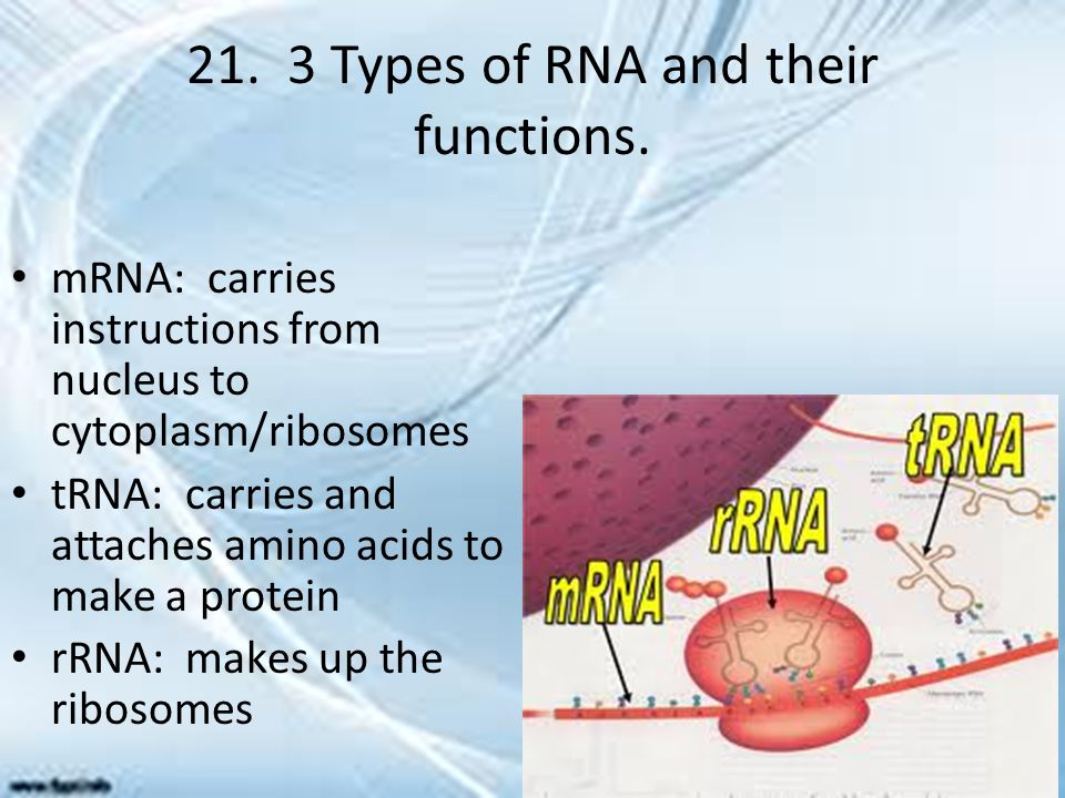 21. 3 Types of RNA and their functions.