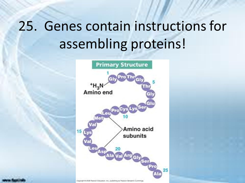 25. Genes contain instructions for assembling proteins!