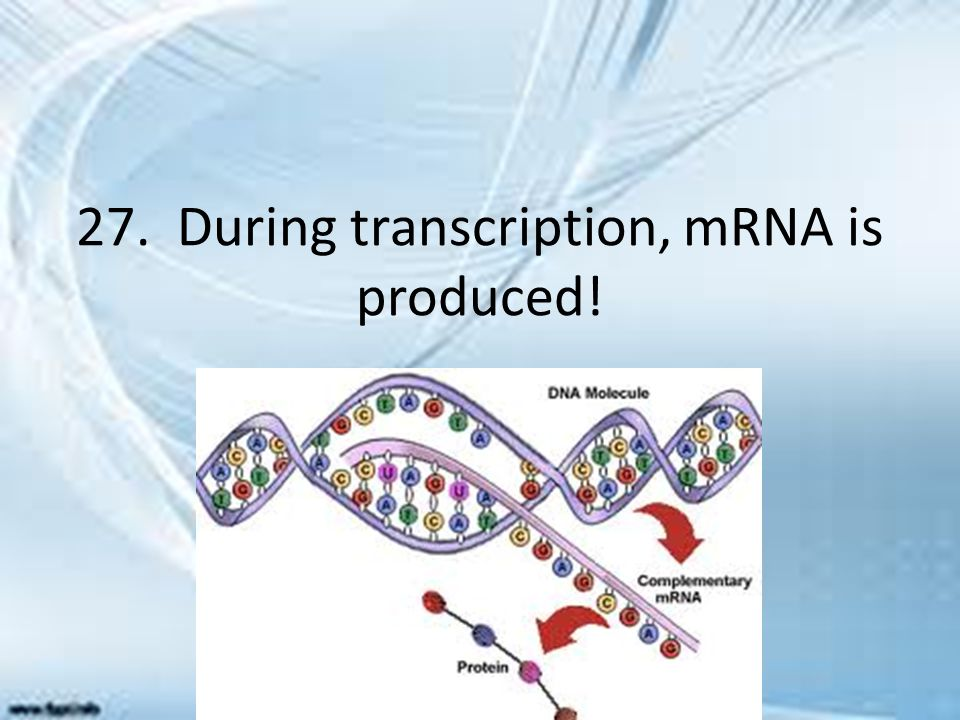 27. During transcription, mRNA is produced!