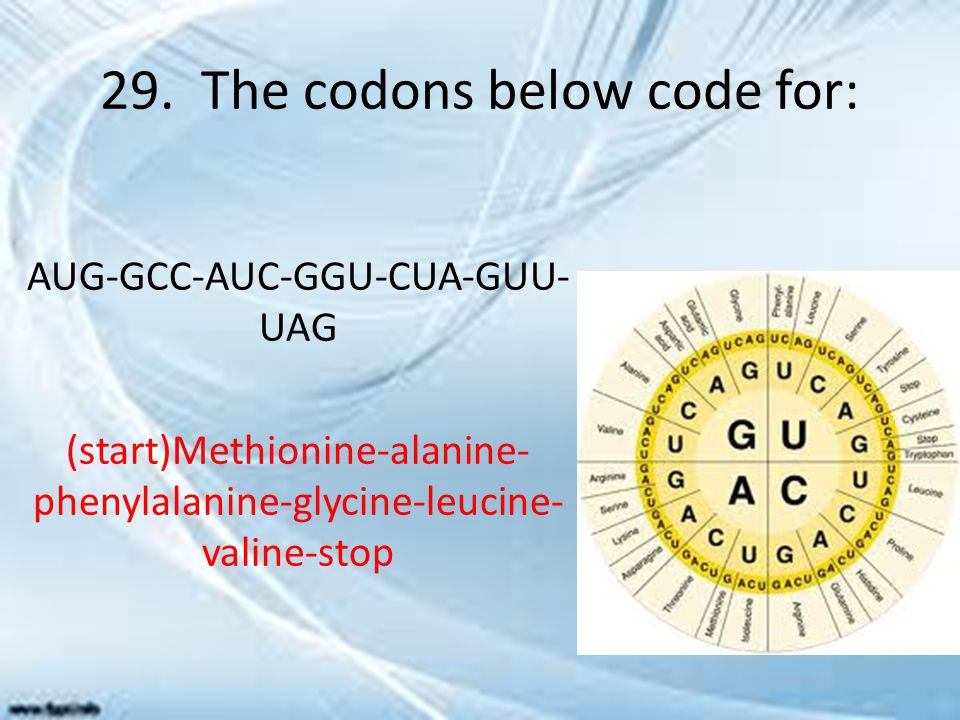 29. The codons below code for: