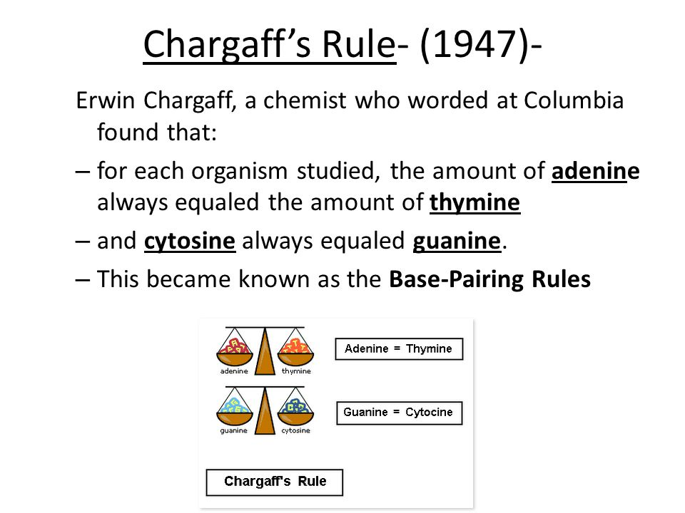 Chargaff's Rule- (1947)- Erwin Chargaff, a chemist who worded at Columbia found that: