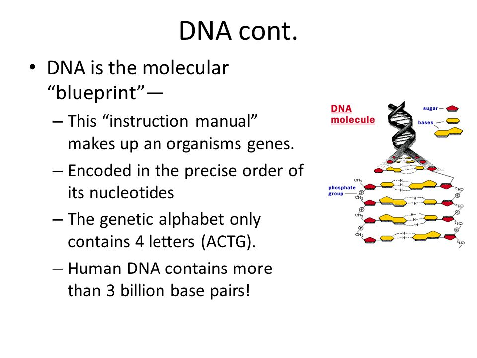 DNA cont. DNA is the molecular blueprint —