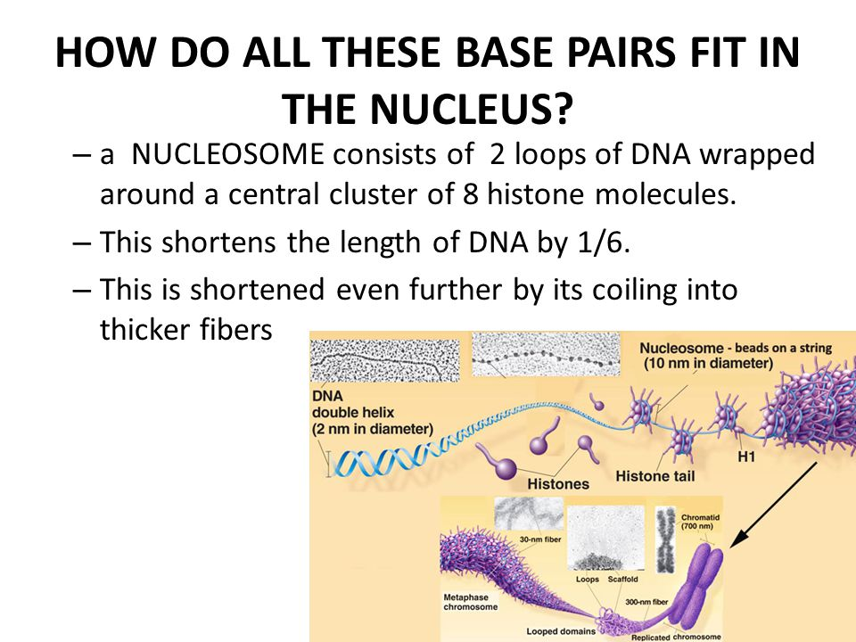 HOW DO ALL THESE BASE PAIRS FIT IN THE NUCLEUS