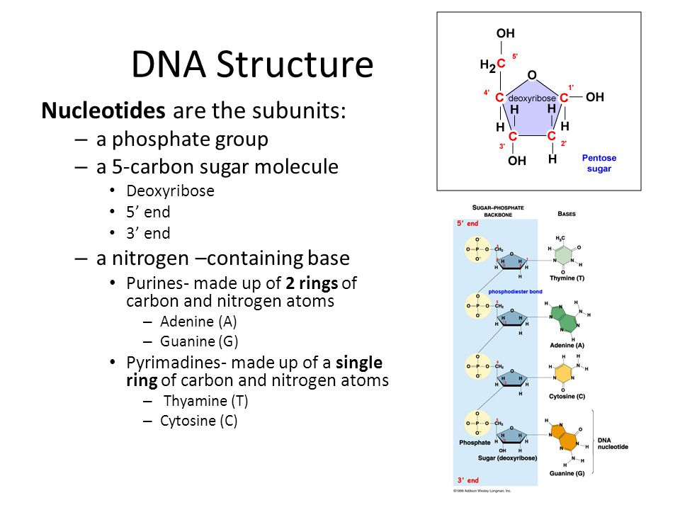 DNA Structure Nucleotides are the subunits: a phosphate group