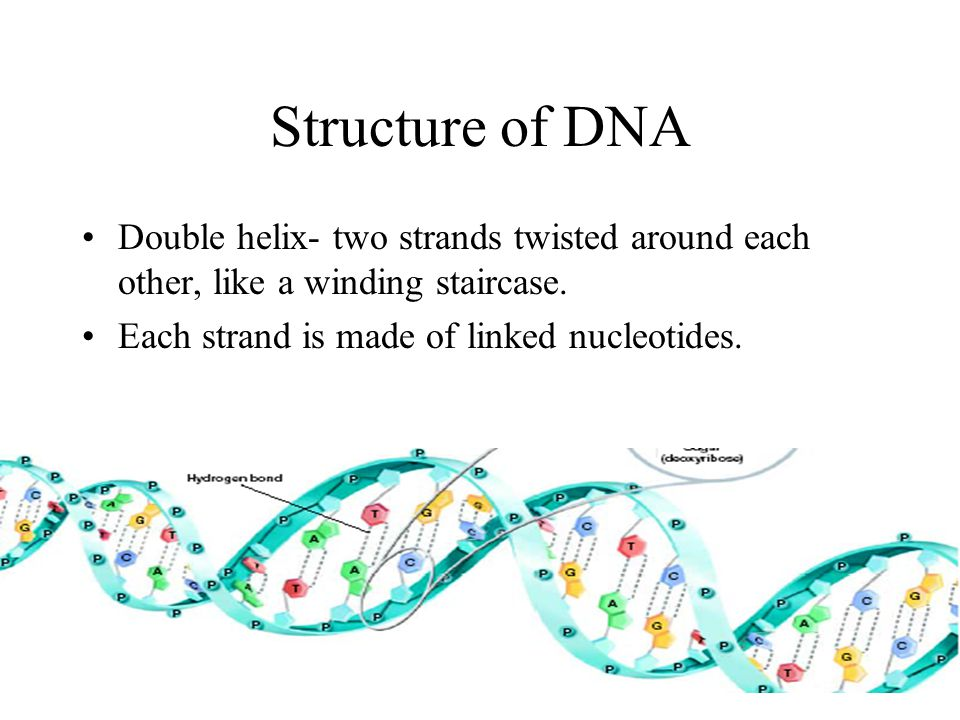 Structure of DNA Double helix- two strands twisted around each other, like a winding staircase.
