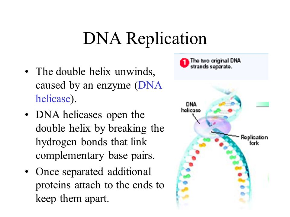 DNA Replication The double helix unwinds, caused by an enzyme (DNA helicase).