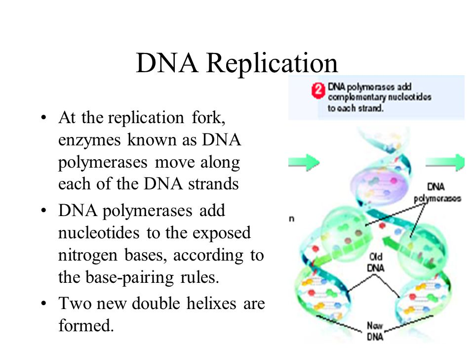 DNA Replication At the replication fork, enzymes known as DNA polymerases move along each of the DNA strands.