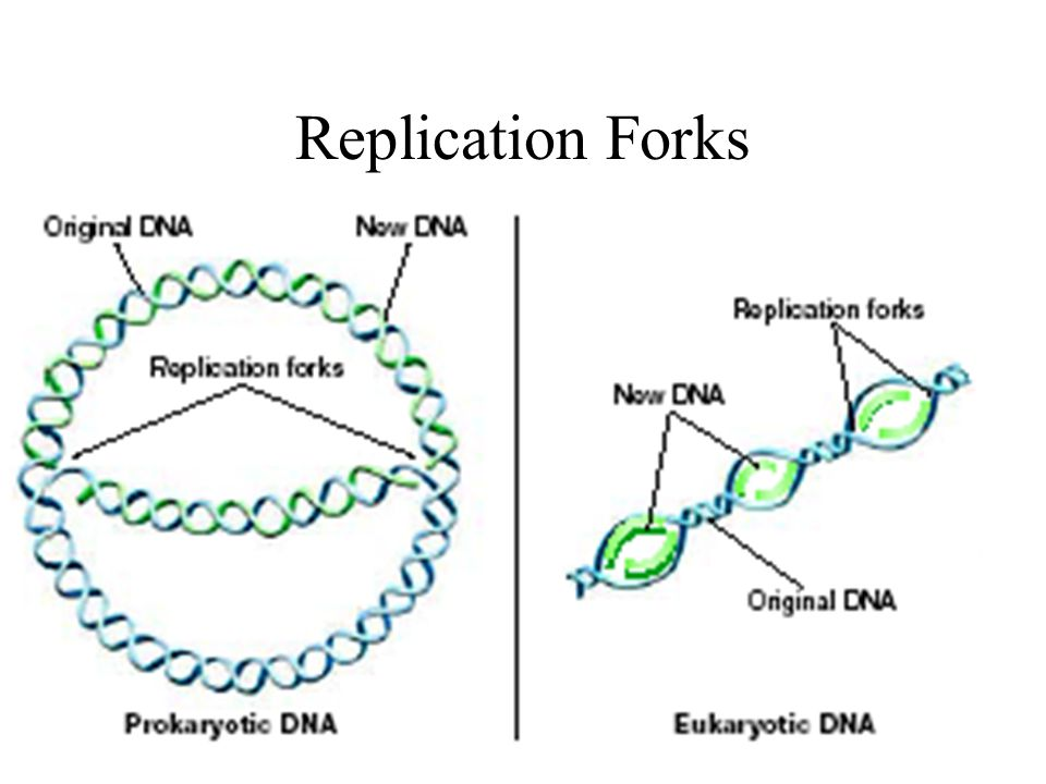 Replication Forks