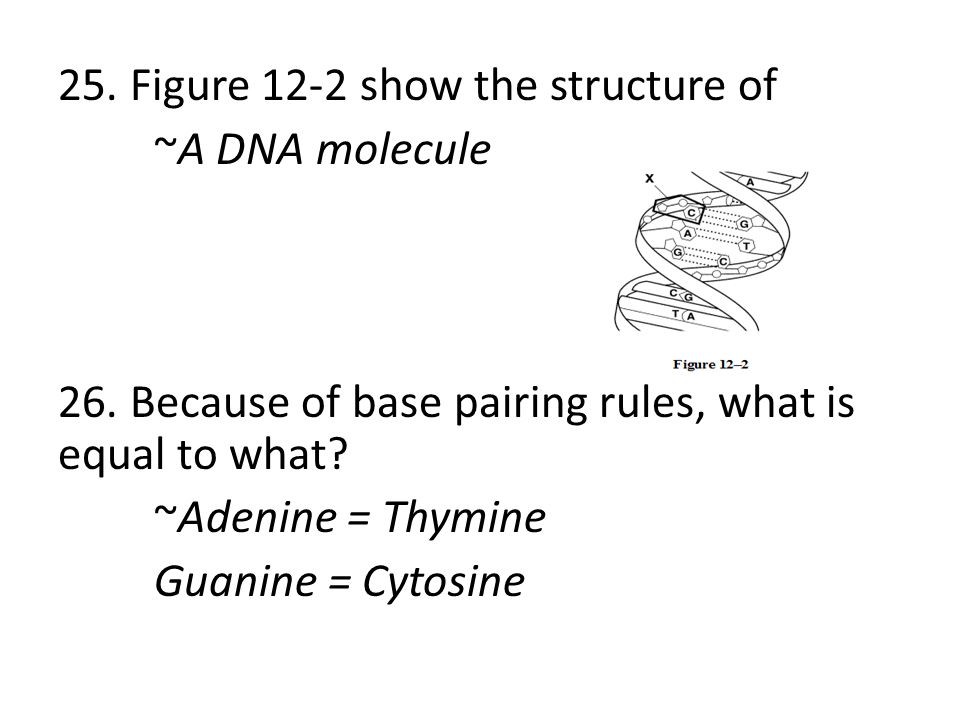 25. Figure 12-2 show the structure of ~A DNA molecule 26