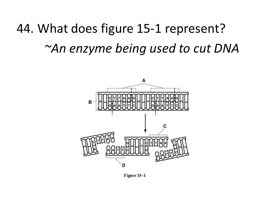 44. What does figure 15-1 represent ~An enzyme being used to cut DNA