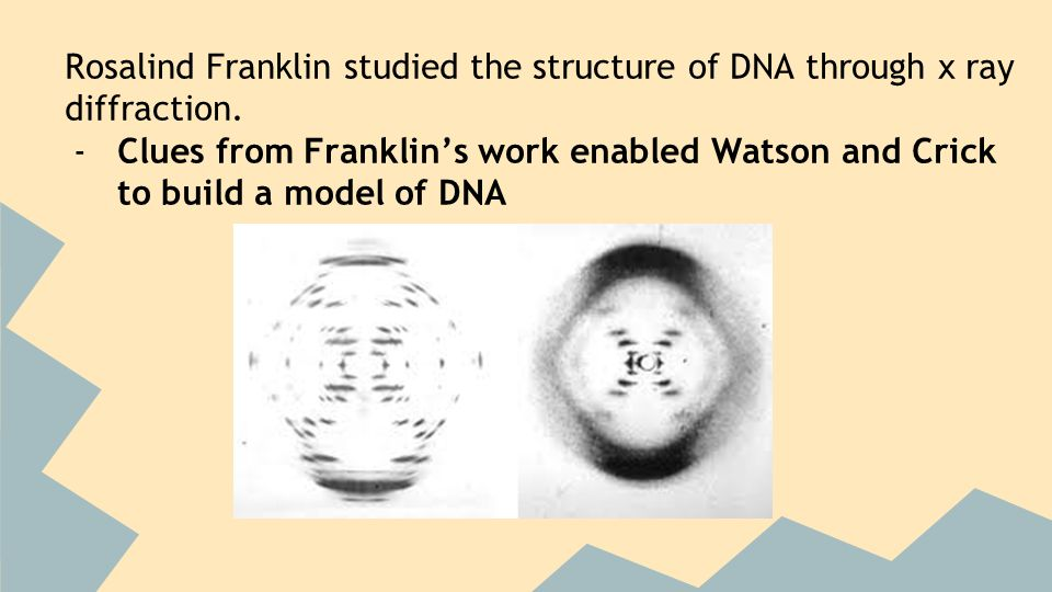 Rosalind Franklin studied the structure of DNA through x ray diffraction.