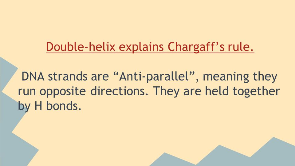 Double-helix explains Chargaff's rule.