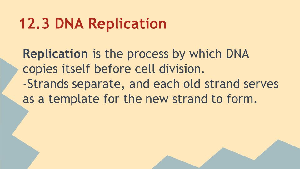 12.3 DNA Replication Replication is the process by which DNA copies itself before cell division.