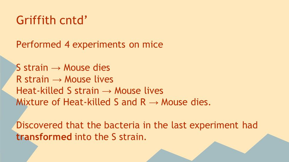 Griffith cntd' Performed 4 experiments on mice S strain → Mouse dies