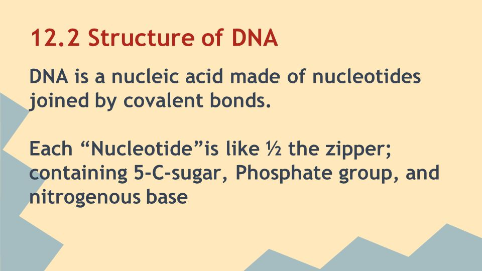 12.2 Structure of DNA DNA is a nucleic acid made of nucleotides joined by covalent bonds.