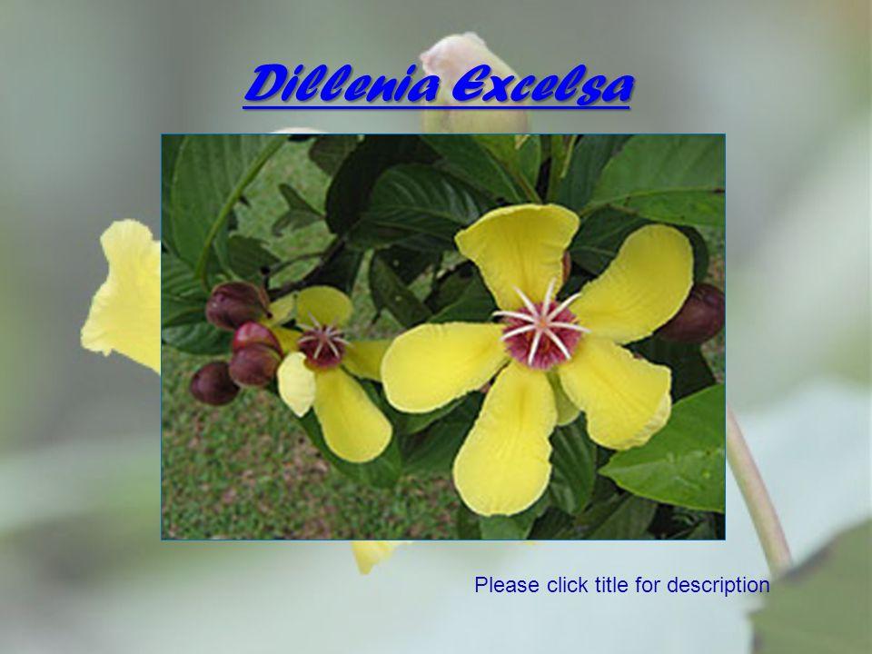 Dillenia Excelsa Please click title for description