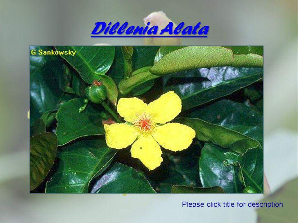 Dillenia Alata Please click title for description