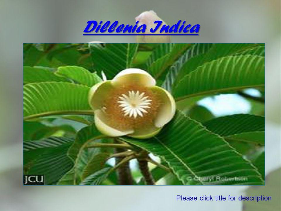Dillenia Indica Please click title for description