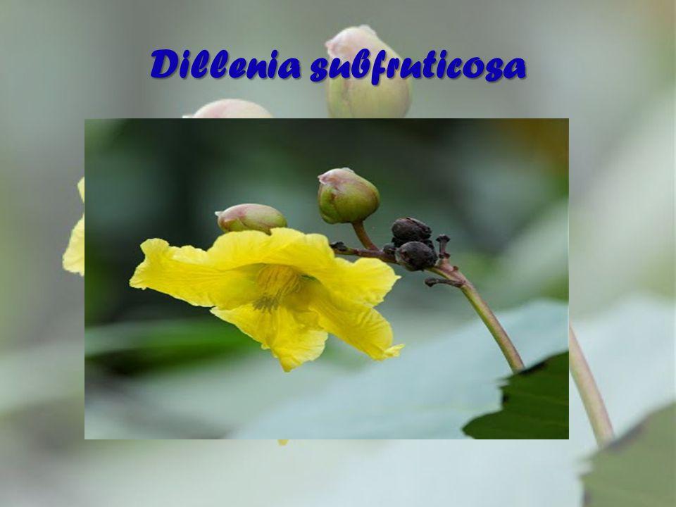 Dillenia subfruticosa