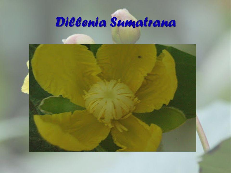 Dillenia Sumatrana