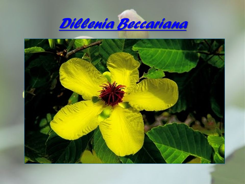 Dillenia Beccariana