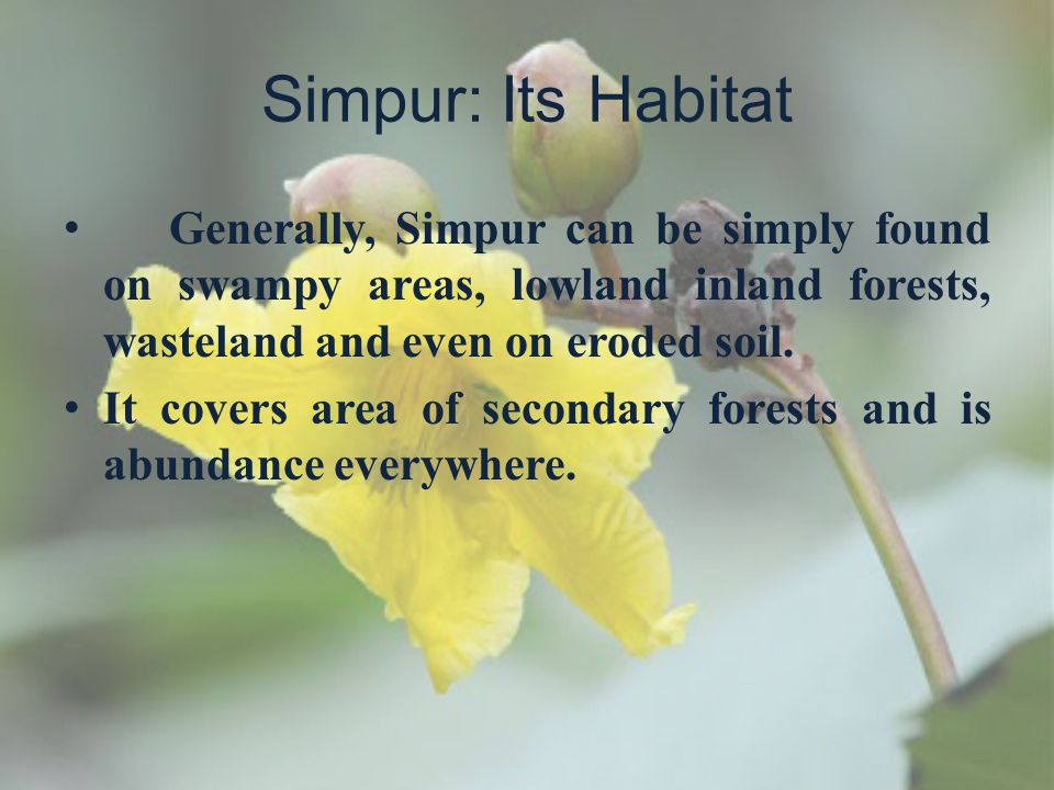 Simpur: Its Habitat Generally, Simpur can be simply found on swampy areas, lowland inland forests, wasteland and even on eroded soil.