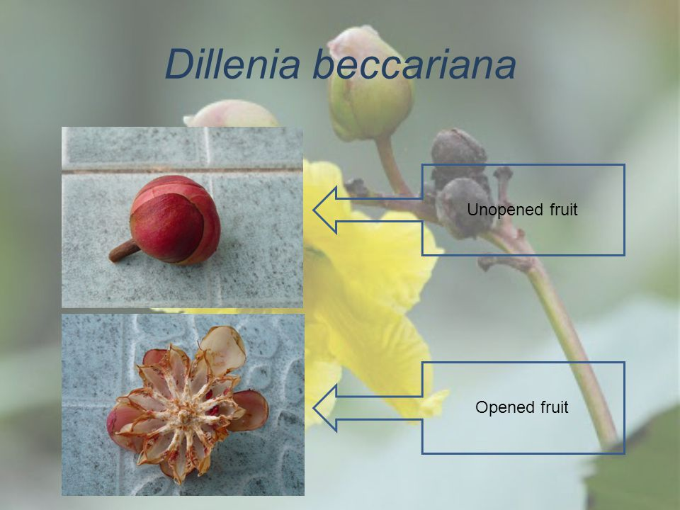 Dillenia beccariana Unopened fruit Opened fruit