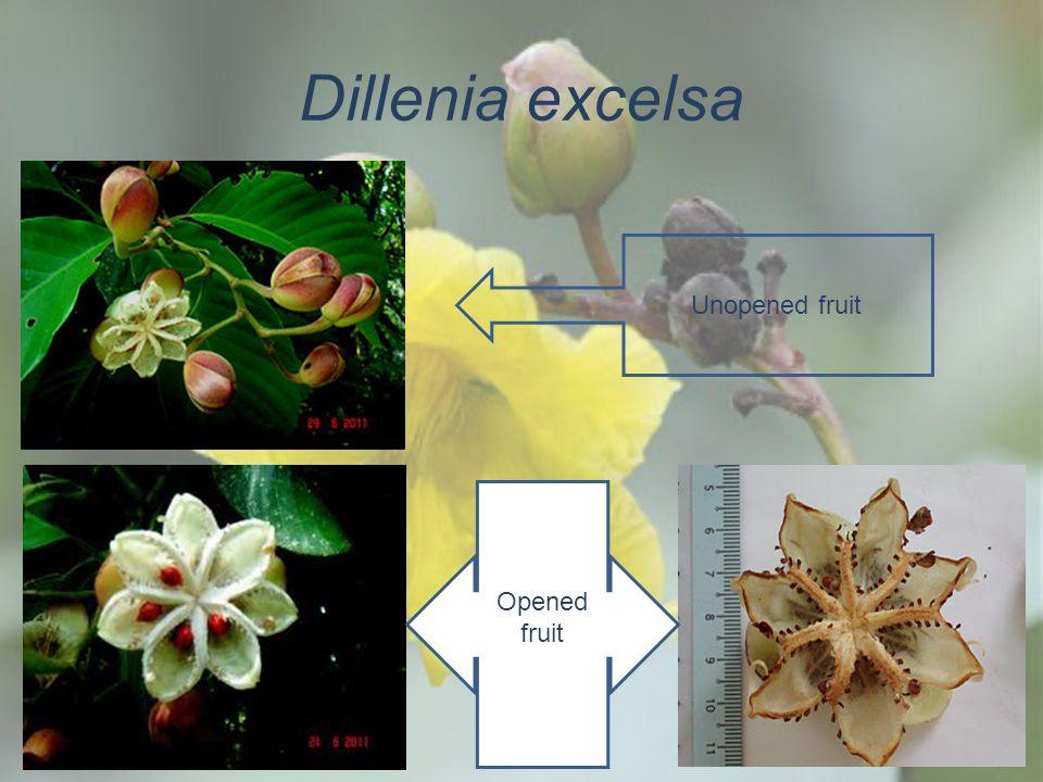 Dillenia excelsa Unopened fruit Opened fruit