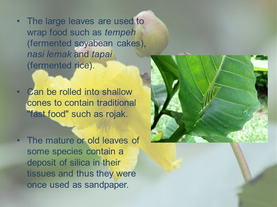 The large leaves are used to wrap food such as tempeh (fermented soyabean cakes), nasi lemak and tapai (fermented rice).