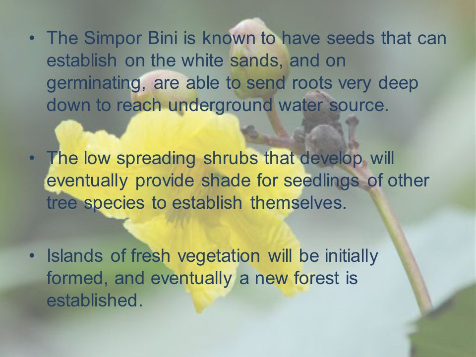 The Simpor Bini is known to have seeds that can establish on the white sands, and on germinating, are able to send roots very deep down to reach underground water source.
