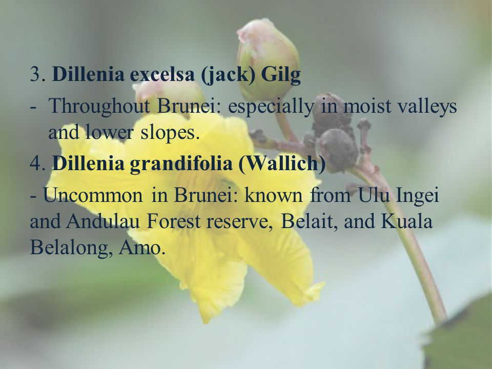 3. Dillenia excelsa (jack) Gilg